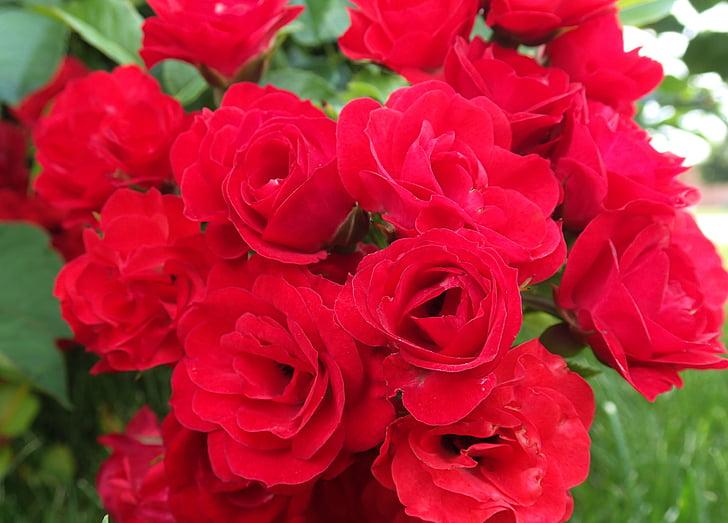 ดอกกุหลาบ, ดอกกุหลาบสีแดง, ดอกกุหลาบป่า, สีแดง, กุหลาบ, ดอกไม้, ดอกไม้