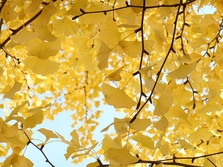 Желтые листья, Осень, дерево гинкго