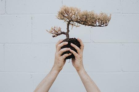 kişi, yetiştirme, Bonsai, bitki, el, toprak, bir kadın sadece