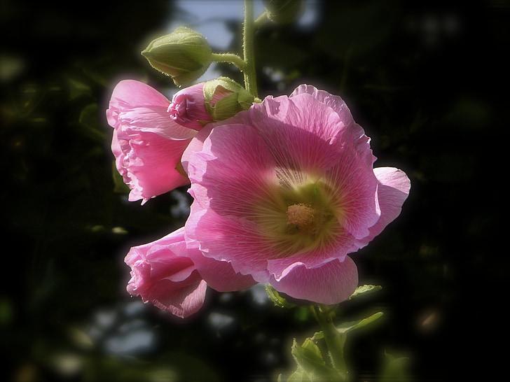 Rosa existències, flor rosa, existències roserar, Malva, malvàcies, Malva, flor rosa existències