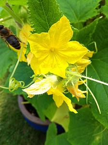 verdures, planta de cogombre, jardí