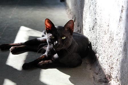 cat, black, feline, animal, kitty, domestic, mammal