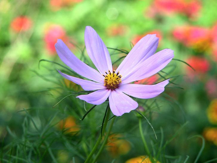 cosmea, flower, nature, floral, flora, summer, botany