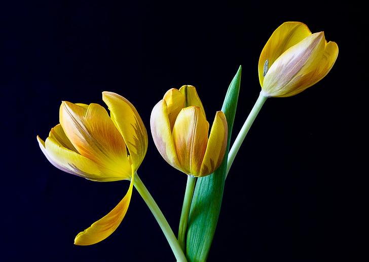 tulip, spring, flowers, yellow, nature, flower, springtime