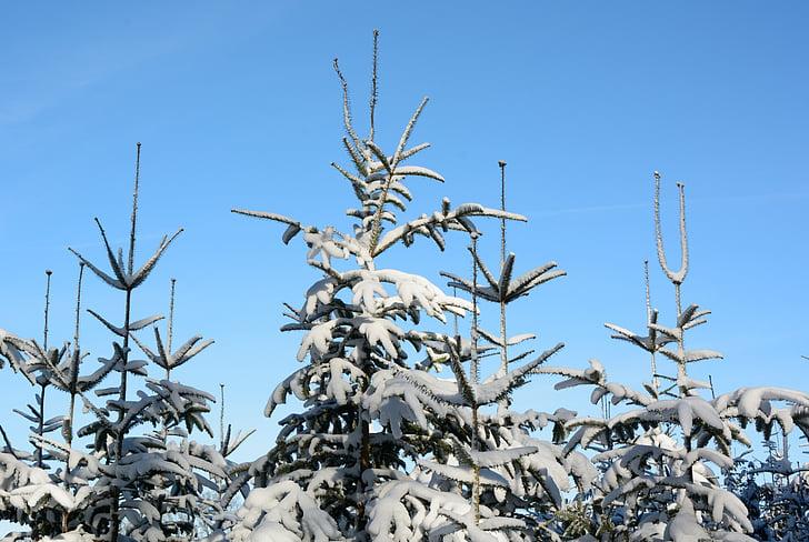 sne, vinter, Fir tips, Firs, vinterlige, træer, sneklædte