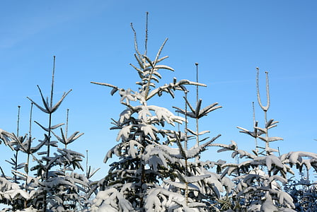 snow, winter, fir tips, firs, wintry, trees, snowy