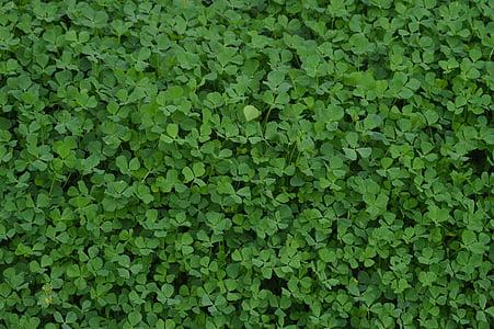 τριφύλλια, φυτό, πράσινο, το τριφύλλι, φύση, χλόη, φύλλωμα