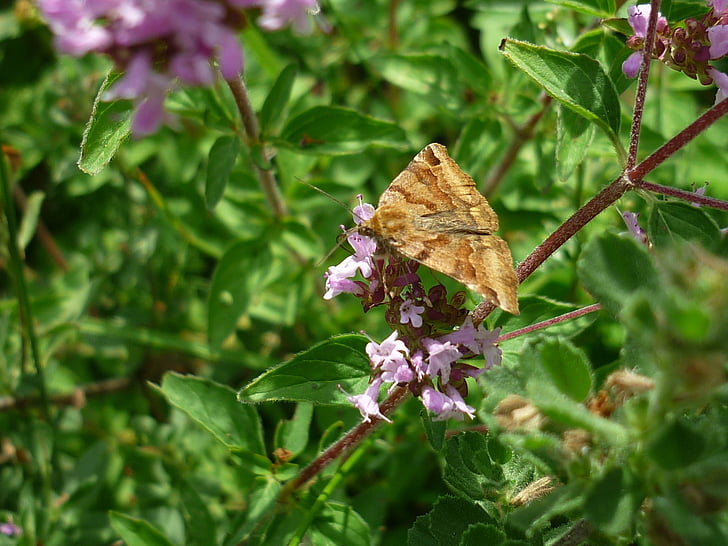 papallona, papallona de dies, flor de farigola, Prat, l'estiu, sol
