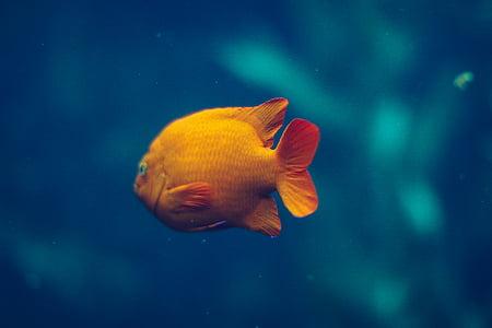 золото, риби, акваріум, підводний, одна тварина, тварина темами, море життя