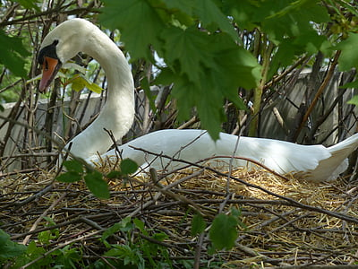 swan, breed, nest, swan's nest, animal, bird, nature