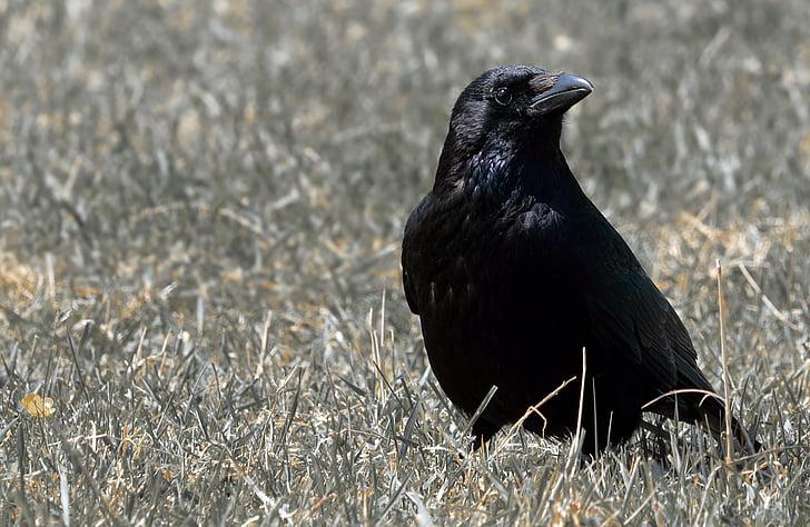 гарван, птица, гарван птица, Черно, птици, животните, животински свят
