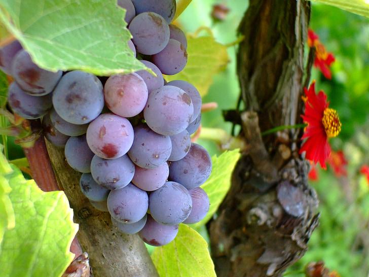 purple grape, grape, fruit, autumn