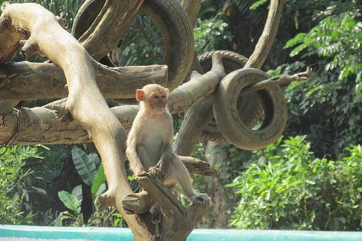 Monkey, strom, Zoo, Mjanmarsko, Barma, Yangon, Cestovanie
