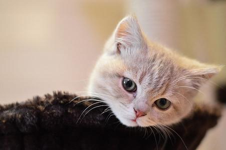 猫, かわいい, キティ, ペット