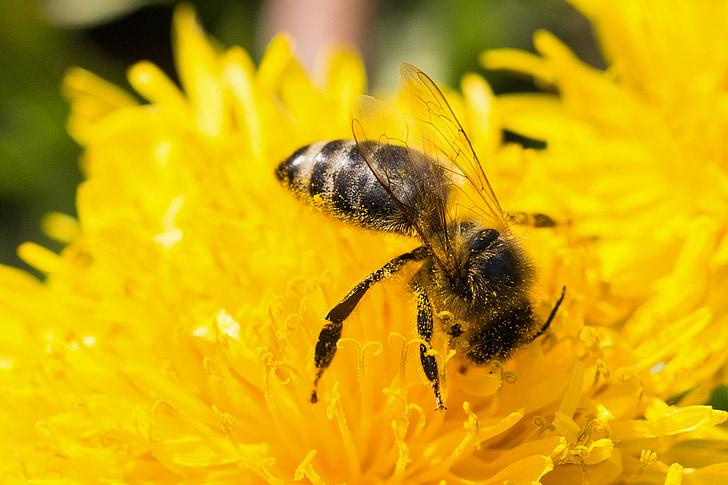 Бджола, Кульбаба, Пилок, макрос, цвітіння, цвітіння, жовтий