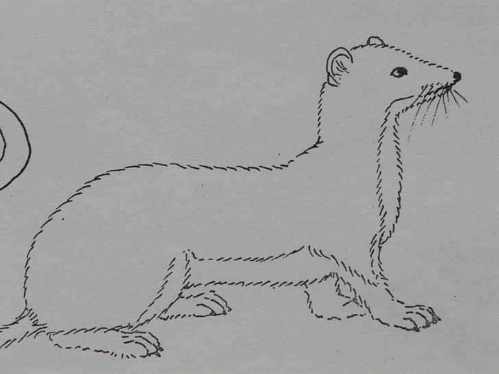 Hermine, animal, pages à colorier, peinture, tirage au sort, modèle de signe, dessin