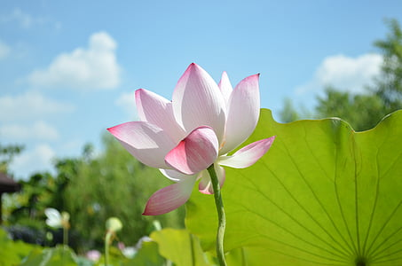 lotus, sky, green leaves, blue day, red flower, white flower, nature