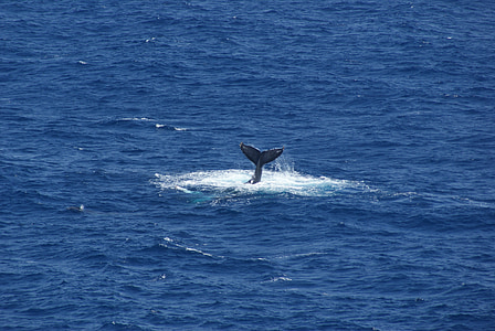 WhaleTail, Baleine, queue, Hawaii, eau, océan, bleu