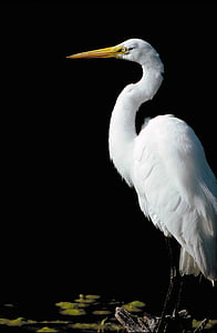 alba, ardea, standing, side, from, great, bird