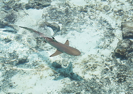 jūra, haizivs, ūdens, zivis, zemūdens, peldēšana, jūras dzīvi