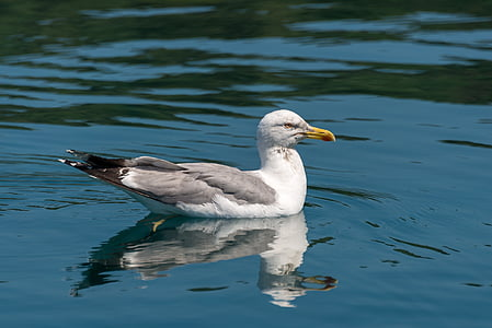 seagull, bird, nature