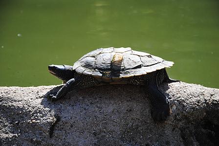 черепаха, воды, животное, Дикая природа, океан, водные, Подводный