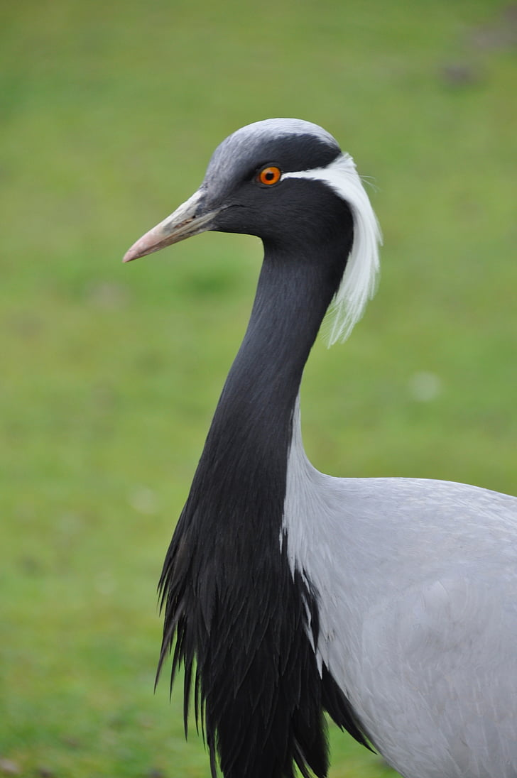 птица, животните, природата, водолюбивите птици