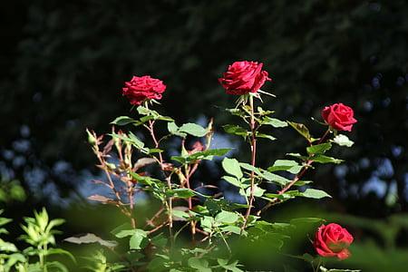 rožės, raudona, gėlės, sodas, stiebas, stiebai, Gamta