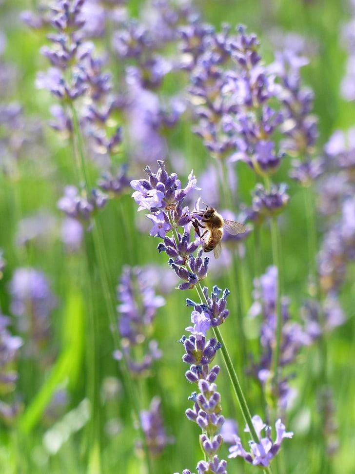 Levanda, levandų gėlės, bičių, apdulkinimas, vabzdžių, violetinė, violetinė