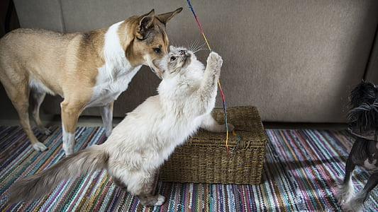 cat, dog, the playground, home, collie, birman, toy