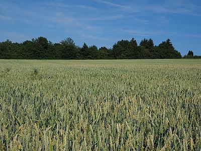campo de trigo, trigo, cereais, orelha, grão, campo de milho, comida