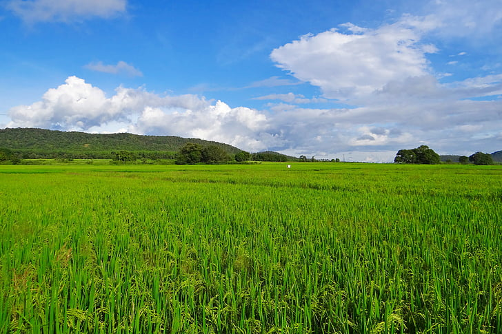 rice, paddy, cultivation, agriculture, crop, farmland, countryside