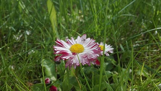 flower, grass, nature, green, garden, daisies, blooms