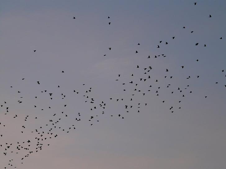 flock of birds, birds, fly, animals, sky, creature, migratory birds