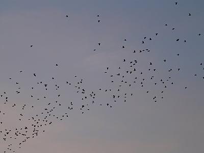 lintuparvi, Linnut, lentää, eläimet, taivas, olento, muuttolintujen