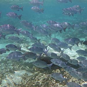 Mar, peix, eixam de peixos, blau, oceà, l'aigua, meeresbewohner