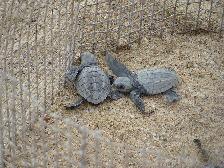 tortugas, cuidado, tortuga