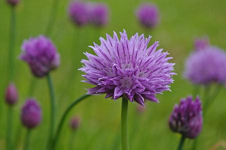cebollino, flor, floración, púrpura, flor morada, naturaleza, cerrar