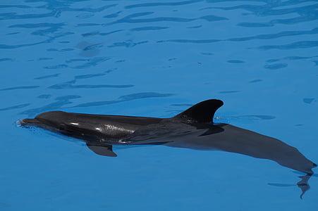 Dofí, Dofí mular, mamífers marins, mamífers, Flipper, meeresbewohner, Delphinidae