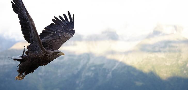 Hawk, chuyến bay, con chim, Raptor, động vật hoang dã, bay, Thiên nhiên