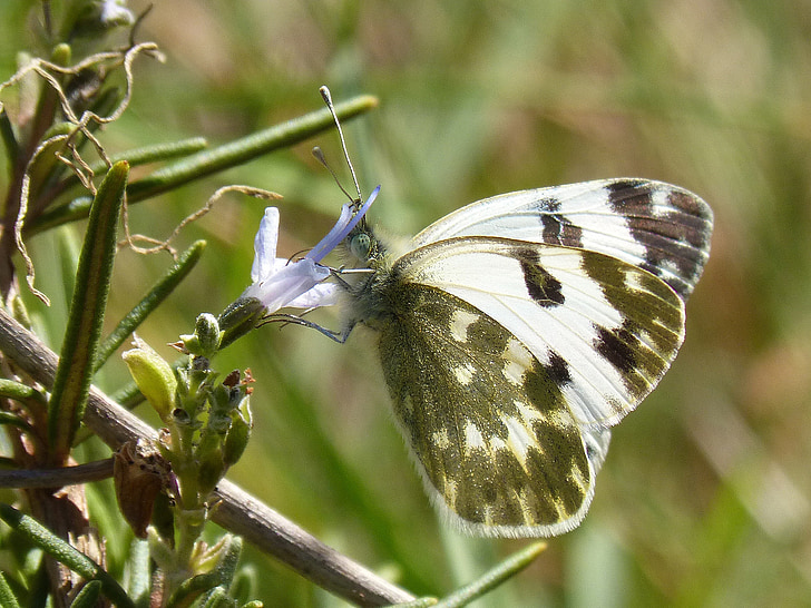 pillangó, rozmaring, Libar, fekete-fehér, tavaszi