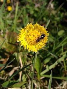 ema ja võõrasema, kevadel, Makro, putukad, Lähis Joonis, Ilu, Bloom