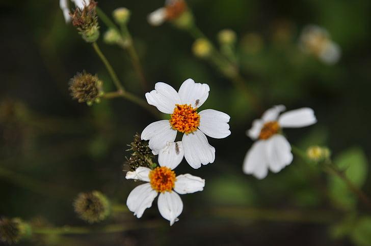 divlje cvijeće, cvijeće, tri cvijeta, bijeli