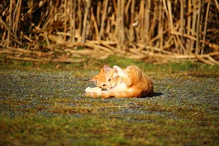 cat, kitten, jump, mackerel, red mackerel tabby, red cat, cat baby