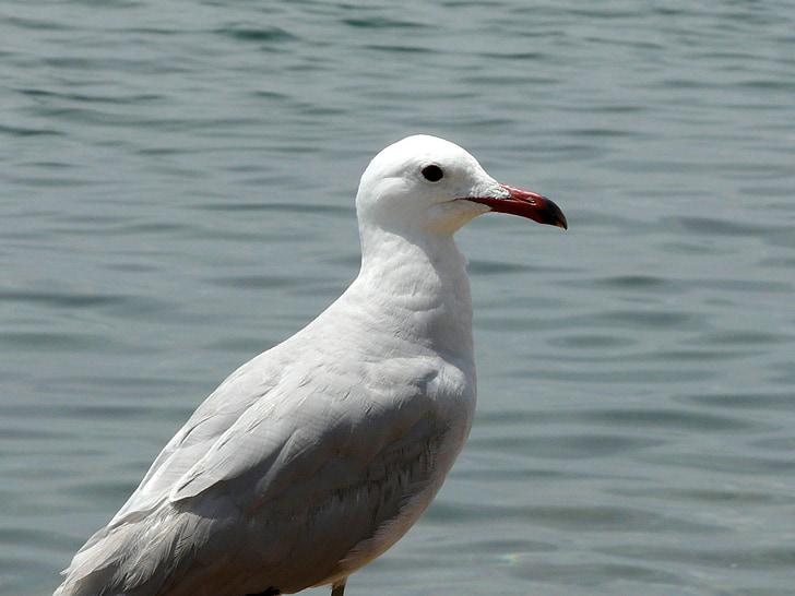Чайка, море, вода птица, Чайка в морето, seevogel