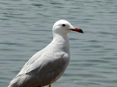 seagull, sea, water bird, gull at sea, seevogel