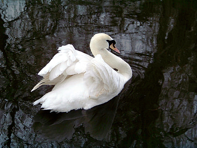 animals, zoo, swan, white swan
