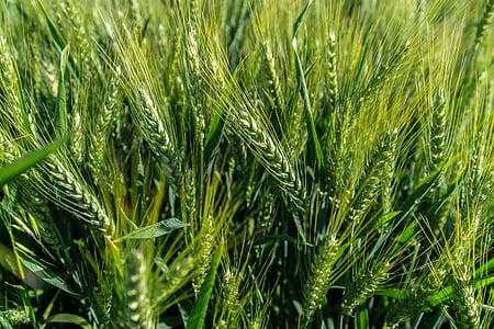 pšenica, pole, obilniny, EPI, poľnohospodárstvo, úroda, kukuričnom poli