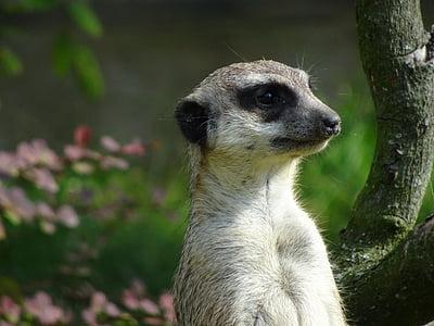 Zoo, Meerkat, Nunnu, uudishimulik, Sulgege, looma, Wildlife