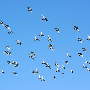 ptaki latające, stado gołębi, gołębie, gołąb, Columba, pływające, ptak